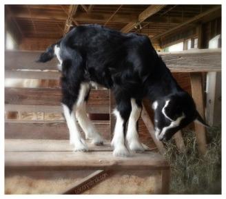 vermont goat