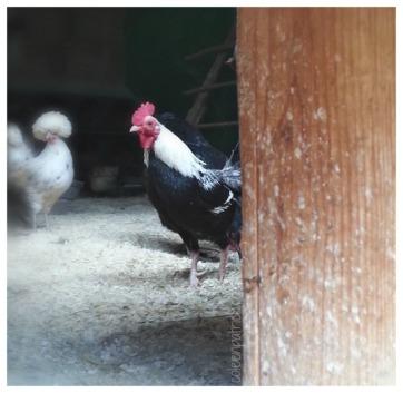 Chicken coop Vermont