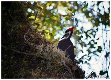 woodpecker cumberland island