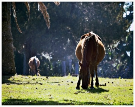 Cumberland Island wild horse grazing