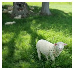 vermont sheep_opt