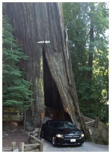 Drive thru tree Redwoods California