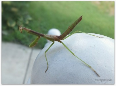 praying mantis on porch