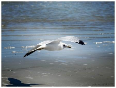 seagull cumberland island fly