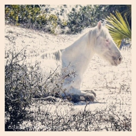white horse Cumberland island