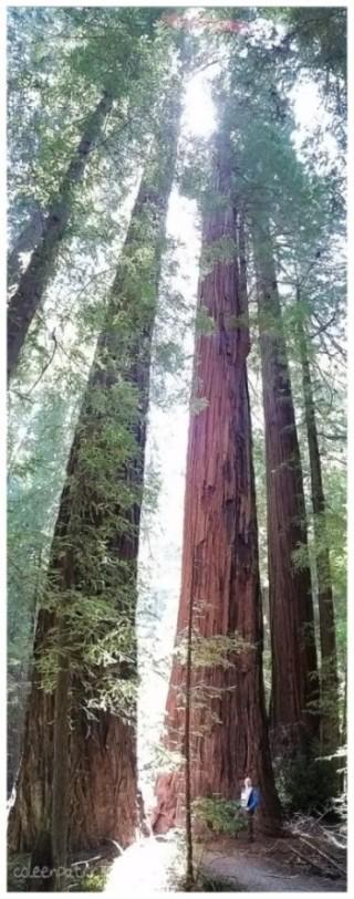 California Redwoods panoramic perspective