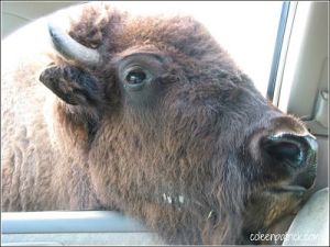 bison car trip_opt