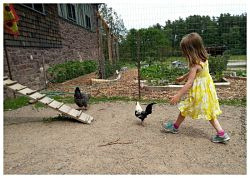 Chicken round up Vermont_opt
