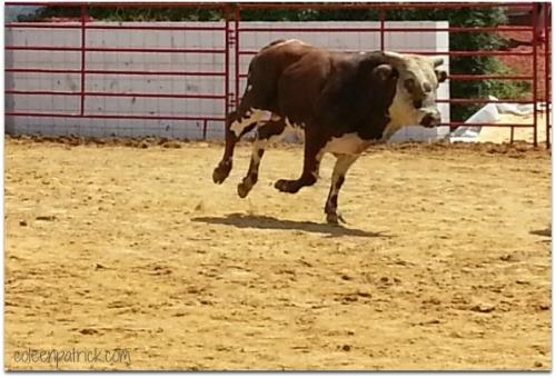 the bull runs