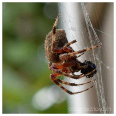spider-fly-macro-coleen-patrick