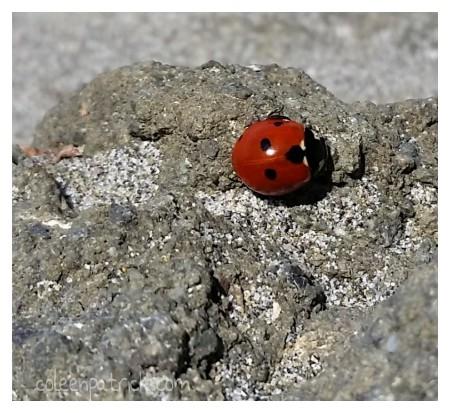 ladybugs at the beach oregon