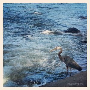 blue heron james river_opt