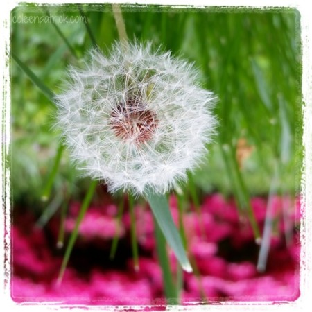 dandelion wishes upside down